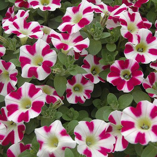 hangpetunia planten kopen