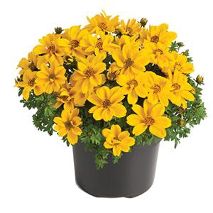 Bidens ferulifolia Yellow Sunshine kopen