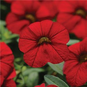 Calibrachoa x hybrida Cabaret Bright Red kopen