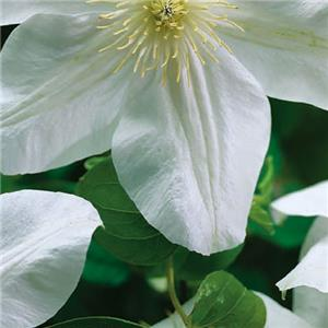 Clematis Madame le Coultre kopen