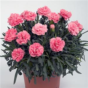 Dianthus Colori Large Flower Primo Pink kopen