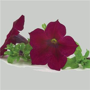 Petunia x hybrida Surfinia Burgundy Wine Red kopen