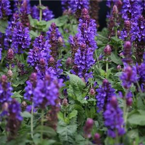 Salvia nemorosa Blue Marvel_32412_3 kopen